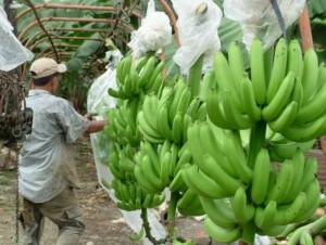 bananeros