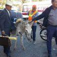 Incautan burros en Santiago a campesinos iban con rumbo al Palacio Nacional