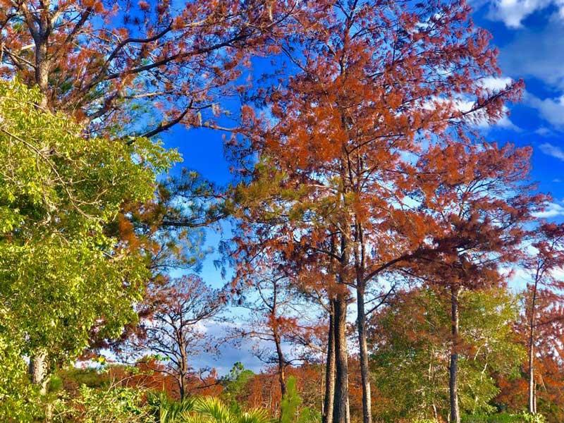 Plaga afecta 400 mil pinos en Sajoma